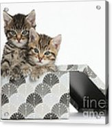 Tabby Kittens In Gift Box Acrylic Print
