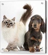 Tabby-point Birman And Dachshund Pup Acrylic Print