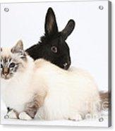 Tabby-point Birman Cat And Black Rabbit Acrylic Print