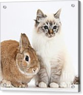 Tabby-point Birman Cat And Rabbit Acrylic Print