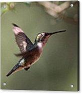 Tad Of Sunshine - Hummingbird Acrylic Print