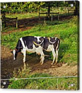 Tail Of Two Cows Acrylic Print