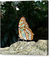 Tailed Jay Butterfly1 Acrylic Print