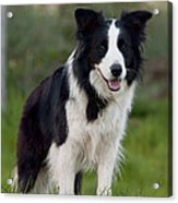 Taj - Border Collie Acrylic Print by Michelle Wrighton