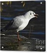 Talking Bird Acrylic Print