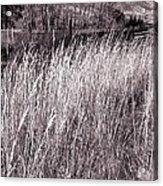 Tall Grasses Acrylic Print