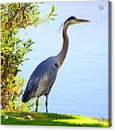 Tall Grey Heron Acrylic Print