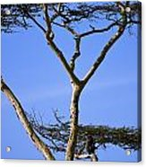 Tall Serengeti Tree And Baboon Acrylic Print