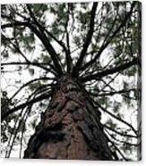 Tall Tree Acrylic Print