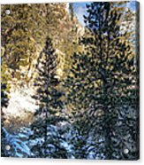 Tall Trees Acrylic Print by Lisa  Spencer