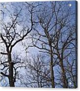 Tall Trees Reaching For A Blue Sky Acrylic Print
