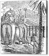 Taming Wild Elephants Acrylic Print