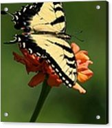 Tantalizing Tiger Swallowtail Butterfly Acrylic Print