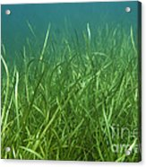 Tapegrass In Freshwater Lake Acrylic Print