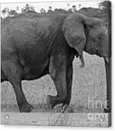 Tarangire Elephant On Road Acrylic Print