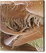 Tarantula Fangs Acrylic Print