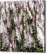 Tasseled Sugarcane Acrylic Print