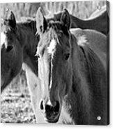 Taylor Horses Acrylic Print