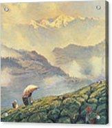 Tea Picking - Darjeeling - India Acrylic Print