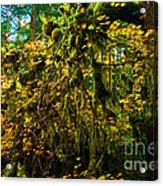 Temperate Rain Forest Acrylic Print