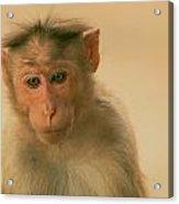 Temple Monkey Acrylic Print