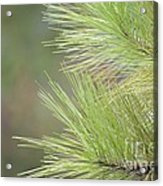 Tender Pines Acrylic Print