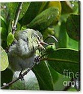 Tennesse Warbler Eating Mangrove Acrylic Print
