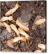 Termite Nest Reticulitermes Flavipes Acrylic Print