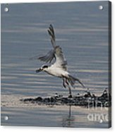 Tern Emerging With Fish Acrylic Print