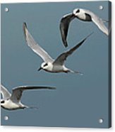 Terns In Formation Acrylic Print