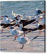 Terns Acrylic Print