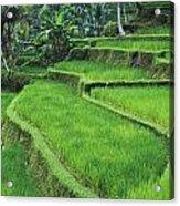 Terraced Fields Of Rice Acrylic Print