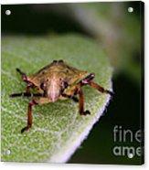 Terrestrial Turtle Bug Acrylic Print by Ted Kinsman