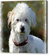 Terrier Dog Portrait Acrylic Print