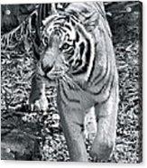 Terrific Tiger Acrylic Print