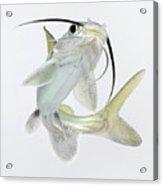 Tete Sea Catfish (hexanematichthys Seemanni), Low Angle View Acrylic Print