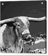 Texas Bevo Bw15 Acrylic Print