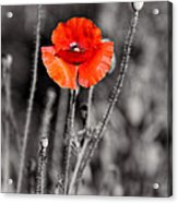 Texas Hot Poppy With Black And White Acrylic Print by Linda Phelps