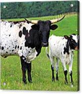 Texas Longhorn Cow And Calf Acrylic Print by Karon Melillo DeVega