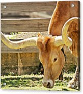 Texas Longhorns - A Genetic Gold Mine Acrylic Print by Christine Till
