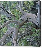 Texas Madrone Tree Limbs Acrylic Print