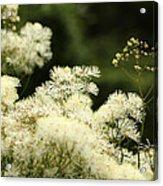 Thalictrum Aquilegiifolium Album Acrylic Print
