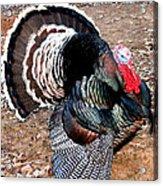 Thanksgiving Turkey Jitters Acrylic Print