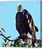 That Eagle Stare Acrylic Print
