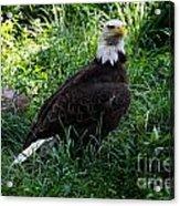 The American Bald Eagle IIi Acrylic Print