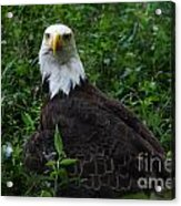 The American Bald Eagle Iv Acrylic Print