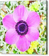 The Anemone Is So Pink Acrylic Print