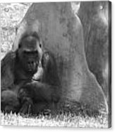 The Angry Ape In Black And White Acrylic Print