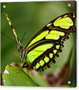 The Beautiful Color Of A Malachi Butterfly Acrylic Print