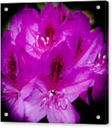 The Beautiful Rhododendron Acrylic Print